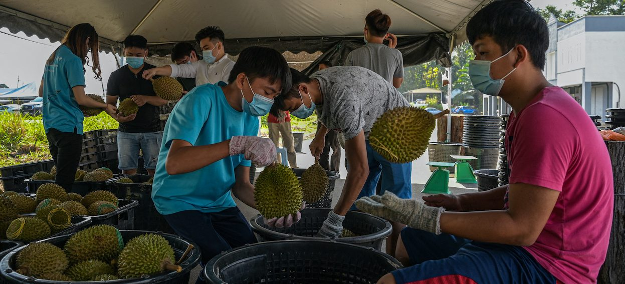 Workers inspecting the quality of durians at a collecting centre in Raub in Malaysia's Pahang state on 8 February, 2021. (Photo: Mohd RASFAN/ AFP)