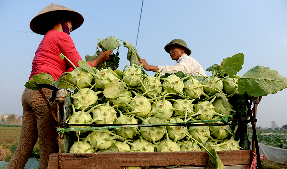 Farmers harvesting cabbage on a field on the outskirts of Hanoi.